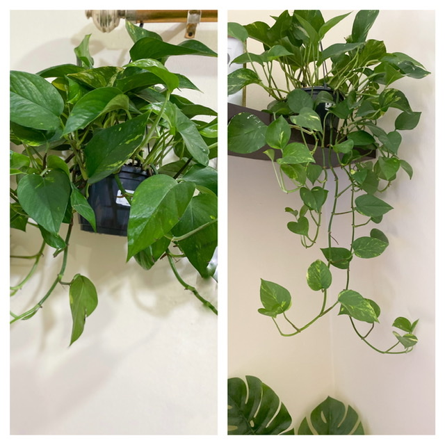 Top 5 Tips To Grow Pothos Faster Indoors
